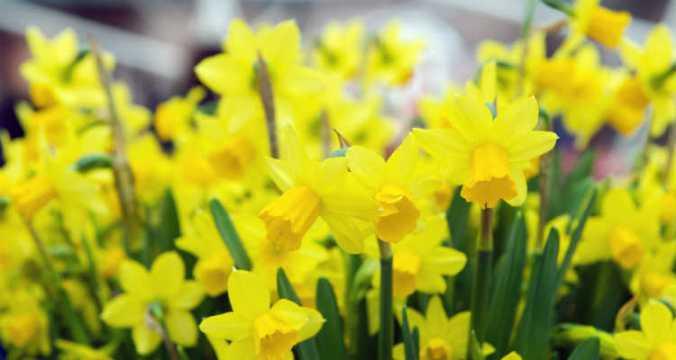Daffodils adj