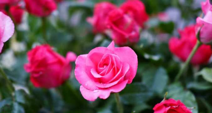 Red Rose Bush adj